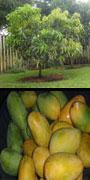 Mangifera, mango, kuini, pajang, kasturi, lali jewa)