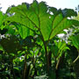 Gunnera tinctoria, Panque, aquapini planting, aquapini food, Highest Good food, walipinis, organic food