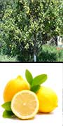 Citrus, X, limon, cv.,Villafranca, Lemon, aquapini planting, aquapini food, Highest Good food, walipinis, organic food