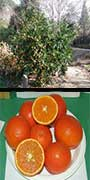 Citrus, reticulata, cv., 'Daisy', Mandarin, aquapini planting, aquapini food, Highest Good food, walipinis, organic food