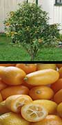 Fortunella cv., 'Nagami', Kumquat, aquapini planting, aquapini food, Highest Good food, walipinis, organic food