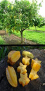 Averrhoa, carambola, starfruit, aquapini planting, aquapini food, Highest Good food, walipinis, organic food
