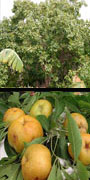 Casimiroa, white sapote, aquapini planting, aquapini food, Highest Good food, walipinis, organic food