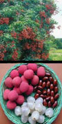Litchi, lychee, aquapini planting, aquapini food, Highest Good food, walipinis, organic food