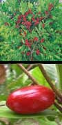Synsepalum dulcificum, miracle fruit, munga, aquapini planting, aquapini food, Highest Good food, walipinis, organic food