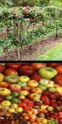 apples, apple diversity, Highest Good food, sustainable food