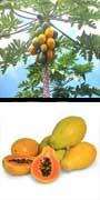 Carica papaya, aquapini planting, aquapini food, Highest Good food, walipinis, organic food