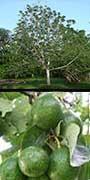 Persea americana, Avocado, aquapini planting, aquapini food, Highest Good food, walipinis, organic food,