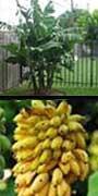Musa acuminata, Dwarf Cavendish Banana, aquapini planting, aquapini food, Highest Good food, walipinis, organic food,
