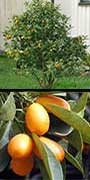 Fortunella margarita, Kumquat, Nagami, aquapini planting, aquapini food, Highest Good food, walipinis, organic food,