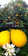 Citrus x meyeri, dwarf Meyer lemon, aquapini planting, aquapini food, Highest Good food, walipinis, organic food,
