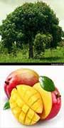 Mangifera indica, Mango, aquapini planting, aquapini food, Highest Good food, walipinis, organic food,