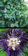 Passiflora incarnata, Purple passionflower, Maypop, aquapini planting, aquapini food, Highest Good food, walipinis, organic food,