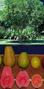 Psidium guajava, Guava, aquapini planting, aquapini food, Highest Good food, walipinis, organic food,