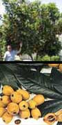 Eriobotrya japonica (Loquat), aquapini planting, aquapini food, Highest Good food, walipinis, organic food,