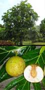Artocarpus altilis, Breadfruit, aquapini planting, aquapini food, Highest Good food, walipinis, organic food,