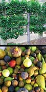 Ficus carica, Fig, aquapini planting, aquapini food, Highest Good food, walipinis, organic food,