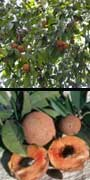 Manilkara zapota, Sapodilla, aquapini planting, aquapini food, Highest Good food, walipinis, organic food
