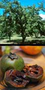 Diospyros digyna, Black Sapote, aquapini planting, aquapini food, Highest Good food, walipinis, organic food