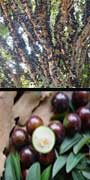 Myrciaria cauliflora, Jaboticaba, aquapini planting, aquapini food, Highest Good food, walipinis, organic food