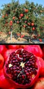 Punica granatum, Pomegranate, aquapini planting, aquapini food, Highest Good food, walipinis, organic food,