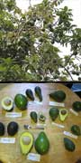 Persea americana, Avocado, aquapini planting, aquapini food, Highest Good food, walipinis, organic food