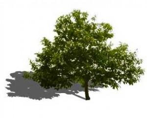 Sketchup, Quercus/oak, Umbellularia/California bay, Maclura/Osage orange, Cladrastis/yellowwood, Gymnocladus/kentucky coffee tree, Quillaja/soapbark, Laureliopsis/NCN, Betula/birch, Acer/maple, Paulownia/empress tree, Sassafras/sassafras, Carya/pecan, Juglans/walnut, Prunus/apricot-plum-almond, Corylus/hazel, Morus/mulberry, Pyrus/pear, Peumus/boldo, Celtis/hackberry