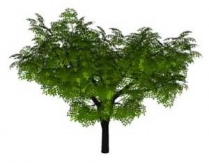 Sketchup, Castanea/chestnut, Umbellularia/California bay, Maclura/Osage orange, Malus/apple, Cladrastis/yellowwood, Gymnocladus/kentuckey coffee tree, Quillaja/soapbark, Laureliopsis/NCN, Betula/birch, Acer/maple, Paulownia/empress tree, Sassafras/sassafras, Carya/pecan, Prunus/apricot-plum-almond, Corylus/hazel, Peumus/boldo, Celtis/hackberry Ulmus/elm, Eucommia/NCN, Prosopis/mesquite, Robinia/black locust, Acacia/NCN,