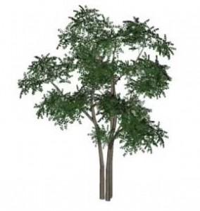 Sketchup, Maclura/Osage orange, Malus/apple, Cladrastis/yellowwood, Gymnocladus/Kentucky coffee tree, Paulownia/empress tree, Sassafras/sassafras, Prunus/apricot-plum-almond, Corylus/hazel, Pyrus/pear, Peumus/boldo, Celtis/hackberry Ulmus/elm, Eucommia/NCN