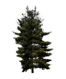 Sketchup, Sequoia/redwood, Keteleeria/NCN, Taxus/yew, Abies/fir, Sciadopitys/NCN, Torreya/California nutmeg
