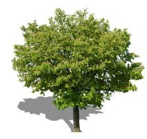 Sketchup, Quercus/oak, Umbellularia/California bay, Maclura/Osage orange, Cladrastis/yellowwood, Gymnocladus/kentuckey coffee tree, Quillaja/soapbark, Laureliopsis/NCN, Betula/birch, Acer/maple, Paulownia/empress tree, Sassafras/sassafras, Carya/pecan, Juglans/walnut, Prunus/apricot-plum-almond, Corylus/hazel, Morus/mulberry, Pyrus/pear, Peumus/boldo, Celtis/hackberry