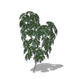 Sketchup, Cecropia/NCN, Schefflera/NCN, Aralia/NCN, Ficus/fig