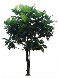 Sketchup, Tropical food tree, Artocarpus species/marang, pedalai, dugdug