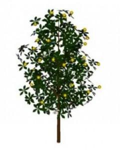 Sketchup, Tropical food tree