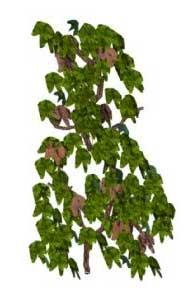 Sketchup, vines, Actinidia/kiwi, Boquilla/NCN, Sinifranchetia/NCN, Akebia/chocolate vine, Lardizabala/NCN, Holboelia/NCN, Marsdenia/talayote