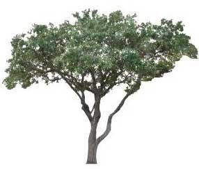 Sketchup, Castanea/chestnut, Umbellularia/California bay, Maclura/Osage orange, Cladrastis/yellowwood, Gymnocladus/kentuckey coffee tree, Quillaja/soapbark, Laureliopsis/NCN, Betula/birch, Acer/maple, Paulownia/empress tree, Sassafras/sassafras, Carya/pecan, Juglans/walnut, Prunus/apricot-plum-almond, Corylus/hazel, Morus/mulberry, Pyrus/pear, Peumus/boldo, Celtis/hackberry