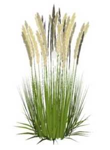 Sketchup, Perennial grasses, Muhlenbergia/NCN, Panicum/panic grass, Calamagrostis/NCN, Stipa/NCN, Nassella/NCN, Cortaderia/pampas grass