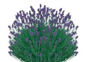 Sketchup, Flowering herbaceous perennial, Salvia/sage, Melissa/lemon balm, Lavandula/lavender, Scutellaria/skullcap