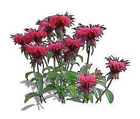 Sketchup, Flowering herbaceous perennial, Monarda/bee balm, Salvia/sage, Xolocotzia/NCN, Penstemon/NCN