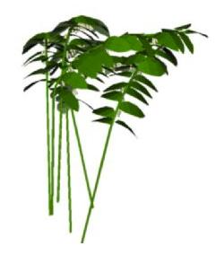 Sketchup, Flowering herbaceous perennial, Polygonatum/Solomon's seal, Ruscus/butcher's broom, Angiopteris/mule's foot fern, Ptisana/king fern