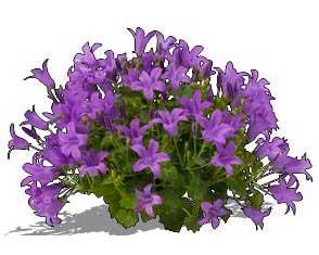 Sketchup, Platycodon/balloon flower, Centaurea/NCN, Nierembergia/NCN, Pulsatilla/pasque flower, Scabiosa/pincusion flower, Flowering herbaceous perennial.