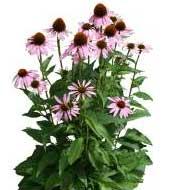 Sketchup, Flowering herbaceous perennial, Rudbeckia/NCN, Ratibida/NCN