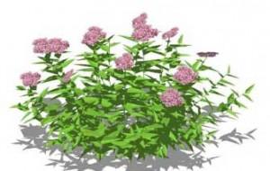 Sketchup, Flowering herbaceous perennial, Alstroemeria/NCN, Gentiana/gentian,