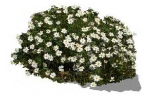 Sketchup, Flowering herbaceous perennial, Montanoa/NCN, Chrysanthemum/ox-eye daisy, Bellis/NCN, Chamaemelum/chamomile,
