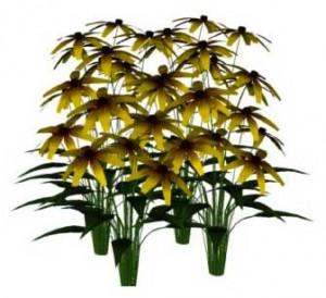 Sketchup, Flowering herbaceous perennial, Rudbeckia/NCN, Ratibida/NCN, Echinacea/NCN