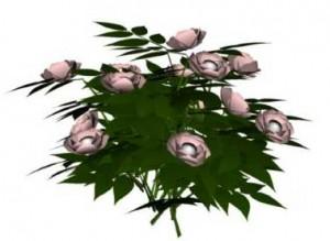 Sketchup, Flowering herbaceous perennial, Rosa/rose, Paeonia/peony