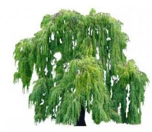 Sketchup, Quercus/oak, Umbellularia/California bay, Maclura/Osage orange, Cladrastis/yellowwood, Gymnocladus/kentuckey coffee tree, Quillaja/soapbark, Laureliopsis/NCN, Betula/birch, Acer/maple, Paulownia/empress tree, Sassafras/sassafras, Carya/pecan, Juglans/walnut, Prunus/apricot-plum-almond, Corylus/hazel, Morus/mulberry, Pyrus/pear, Peumus/boldo, Celtis/hackberry Maytenus/NCN, Schinus/Brazilian pepper tree