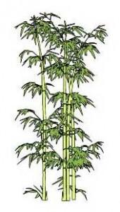 Sketchup, bamboo, Bambusa/NCN, Dendrocalamus/NCN, Phyllostachys/NCN, Guadua/NCN