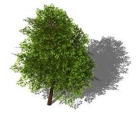 Sketchup, Quercus/oak, Castanea/chestnut, Umbellularia/California bay, Maclura/Osage orange, Cladrastis/yellowwood, Gymnocladus/kentuckey coffee tree, Quillaja/soapbark, Laureliopsis/NCN, Betula/birch, Acer/maple, Paulownia/empress tree, Sassafras/sassafras, Carya/pecan, Juglans/walnut, Prunus/apricot-plum-almond, Corylus/hazel, Morus/mulberry, Pyrus/pear, Peumus/boldo, Celtis/hackberry, Pistacia/pistachio