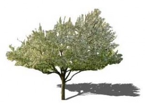 Sketchup, Castanea/chestnut, Umbellularia/California bay, Maclura/Osage orange, Malus/apple, Cladrastis/yellowwood, Gymnocladus/Kentucky coffee tree, Quillaja/soapbark, Laureliopsis/NCN, Betula/birch, Acer/maple, Paulownia/empress tree, Sassafras/sassafras, Carya/pecan, Juglans/walnut, Prunus/apricot-plum-almond, Corylus/hazel, Morus/mulberry, Pyrus/pear, Peumus/boldo, Celtis/hackberry